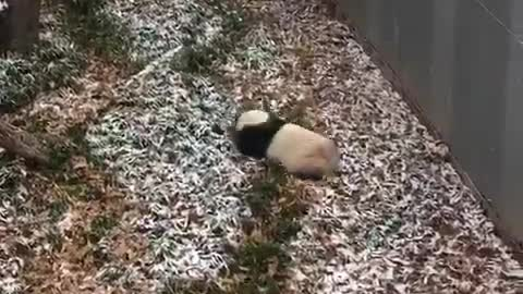 Giant Panda In D.C National Zoo Enjoys Fooling Around In The Snow