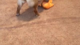 Tan dog faceplants with orange toy in his mouth  - Video