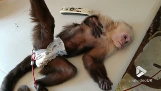 Little monkey love his belly rub