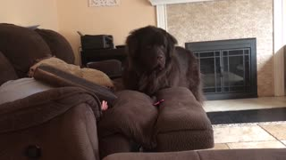 Newfoundland proves to be excellent at hide-and-seek
