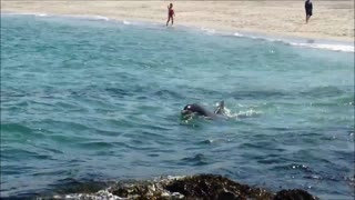 Angry Dolphin Attempts To Attack Swimmer - Video