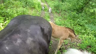 Foal going out on trail rde with Momma and big Brother  - Video