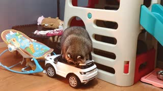 Raccoon rides in his new car because it's amazing.