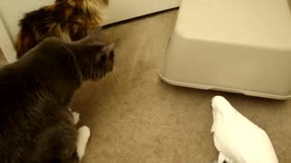 Cats and Parrot playing with box  - Video
