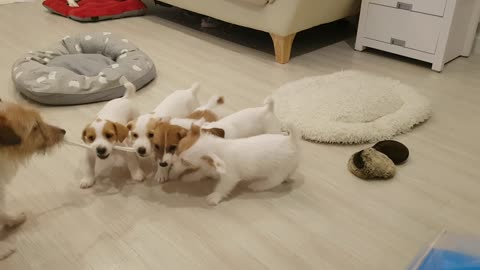 Puppy challenge their father to tug-of-war match