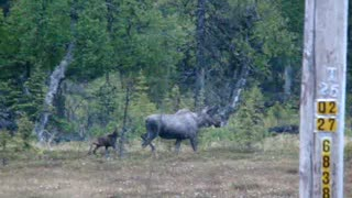 Baby Moose gets a second chance - Video