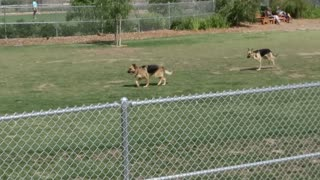 Three-legged German Shepherd loves the dog park