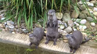 Hungry otters beg for food with adorably squeaky sounds