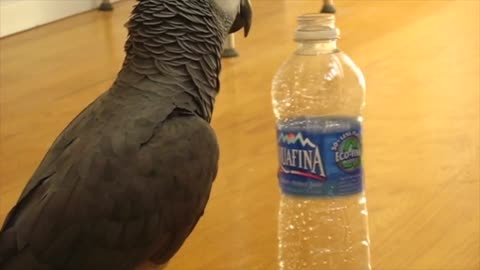 Parrot loves to spin wide variety of empty bottles