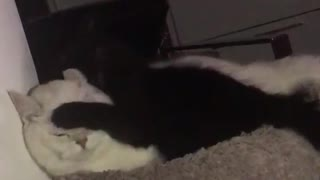 White cat angry at black cat hitting him