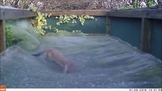 Weasel Plays on Garden Trampoline - Video
