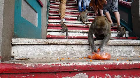Wild monkeys in the heart of Kuala Lumpur do not really bother with humans around them