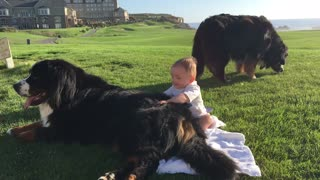 "Baby ""chills"" with Bernese Mountain Dogs amid jaw-dropping scenery"