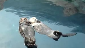 Adorable sea otters hold hands while napping - Video