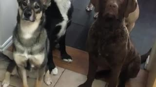 Patient Dogs Sit Still For Delicious Smoothie