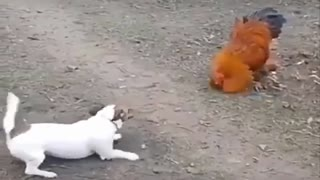Play rooster with dog