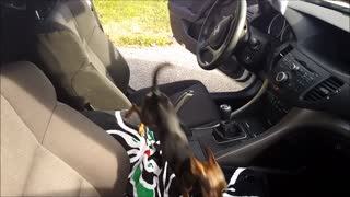 chihuahua puppies jump in a car - Video