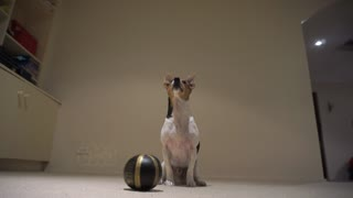 Talented Jack Russell Terrier playing basketball
