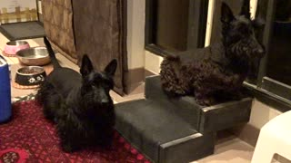 Scottish Terriers listening to cat sounds - Video