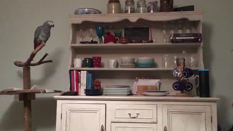 Friendly Parrot Repetitively Calls Out For Amazon Alexa