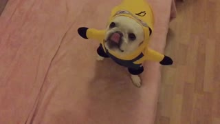 French Bulldog tries on 'Minions' costume - Video