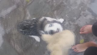 Husky wants her toy cat back! - Video