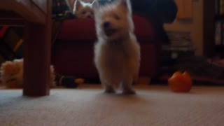 Adorable Puppy Collides With Camera - Video