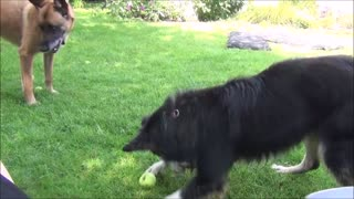 Dog confuses harmless apple for tennis ball