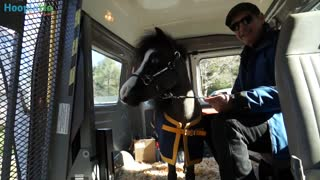 Miniature Horses Are New Type Of Therapy Animal - Video