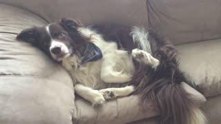 Border Collie uses puppy eyes when caught on couch - Video