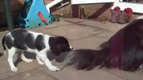 Puppy pulls tail
