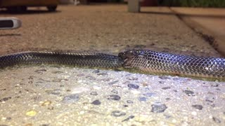 Cannibal Small Eyed Snake - Video
