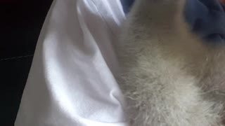 Baby Gosling Climbs Up To Get Hugs and Kisses  - Video