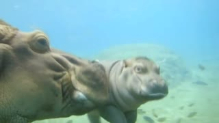Baby hippopotamus swims with mother in San Diego Zoo - Video