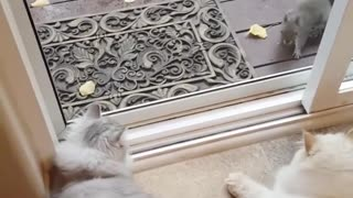 Cats approached by friendly pair of squirrels  - Video