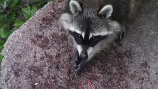 A female raccoon is very beautiful