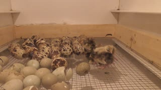 Live hatching of dwarf quails caught on camera - Video