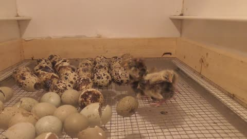 Live hatching of dwarf quails caught on camera