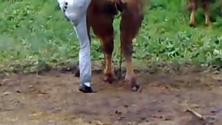 Camel and funny man - Video