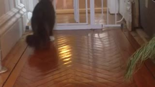 Dog Playing with Cat Who Isn't Having It - Video
