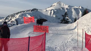 Moose Charges Lift Line at Alyeska Resort - Video