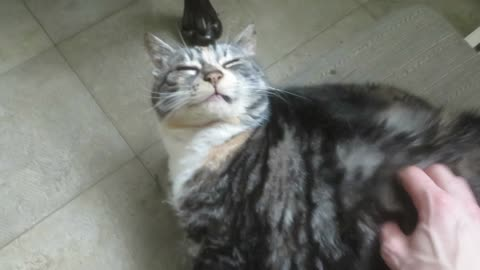 Cat Absolutley Loves being Scratched