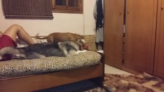 Husky fallen from the bed while playing with other dog (slow motion)