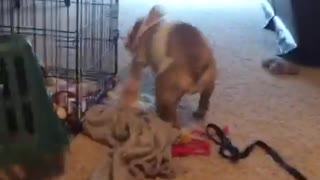 Bulldog vs Laundry Baskst - Video
