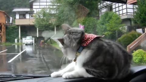Windshield wipers send cat into playful frenzy