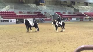 Gorgeous Gypsy Vanner Stallions Will Brighten Your Day - Video