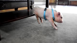 """Dancing"" mini pig loves to scratch himself"