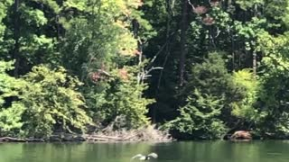 Bald Eagle snatches fish