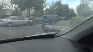 Lazy pigeon gets a free car ride - Video