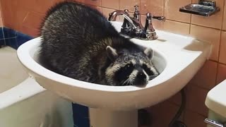 Pet raccoon learns how to makes herself a bath - Video